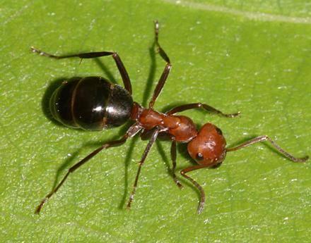 Macché superuomo, il padrone del mondo è un superorganismo fatto solo di formiche