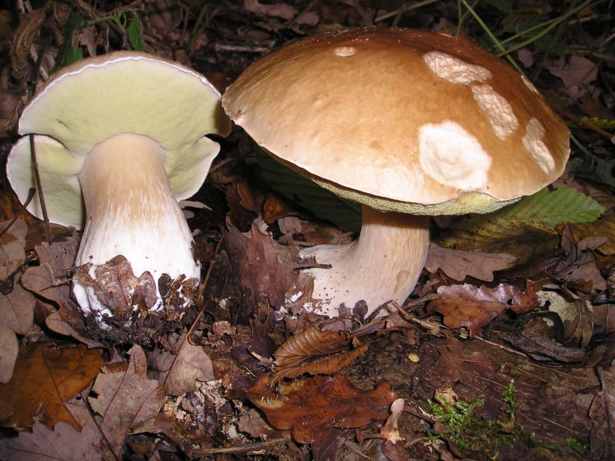 Funghi porcini in una foto d'archivio