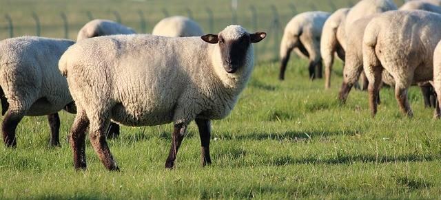 L'erba secca non piace alle pecore della Raggi: il bando è già un flop