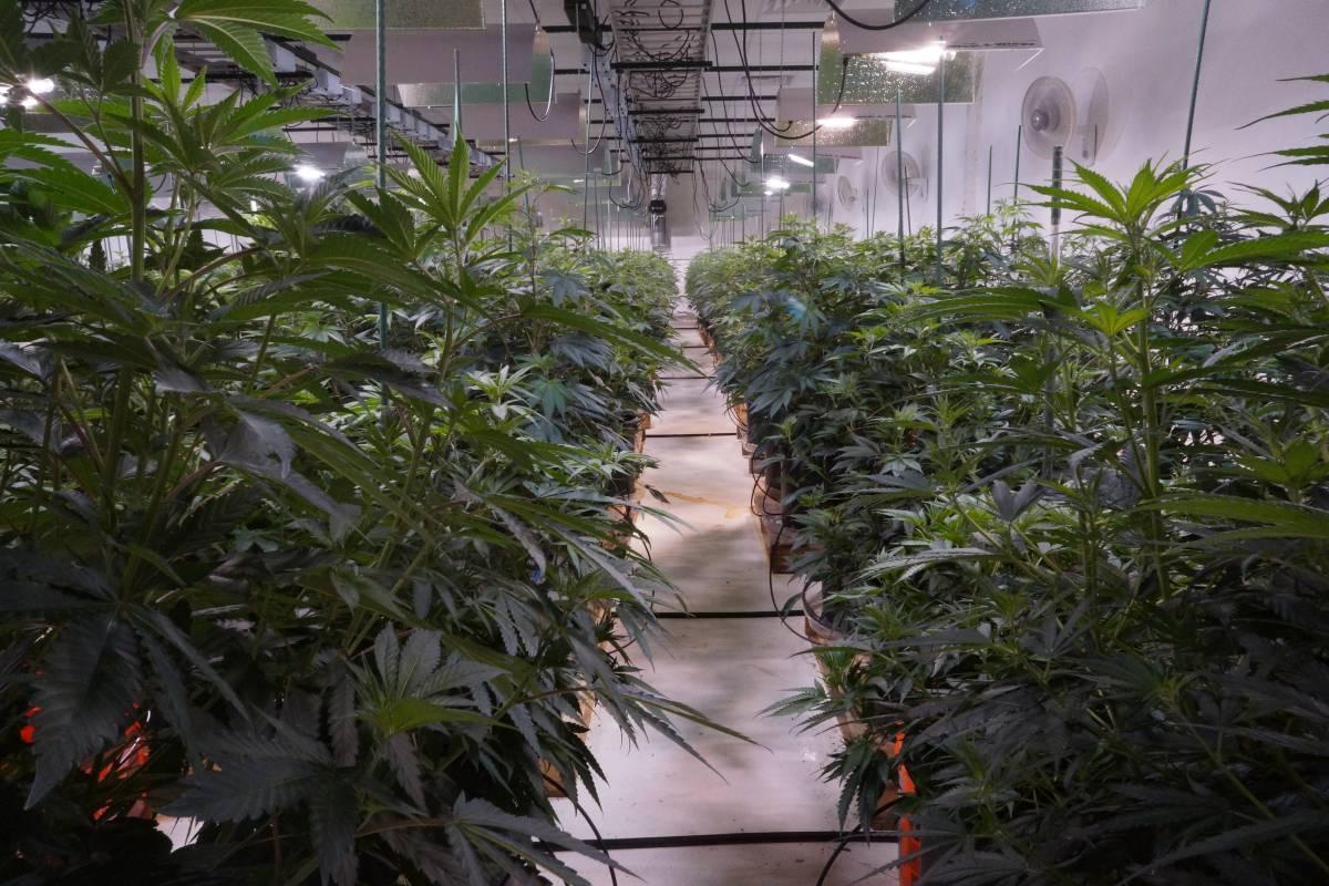 Nasce il franchising della cannabis