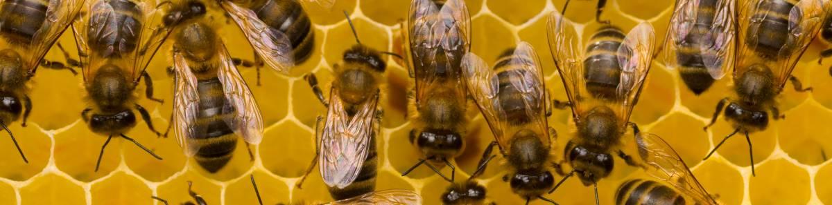Miele amaro. Le api finiscono ko