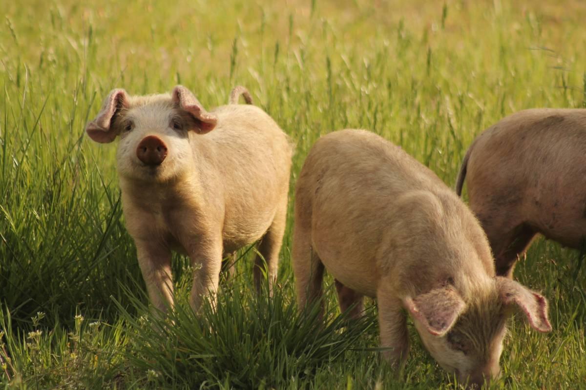 Cervello di maiale mantenuto in vita scollegato dal corpo