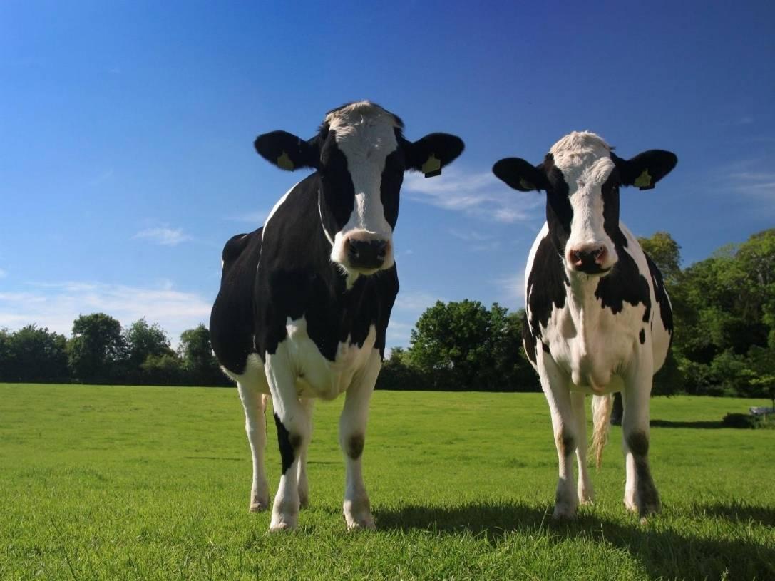 """Se gli ambientalisti litigano sui """"gas"""" emessi dalle mucche"""