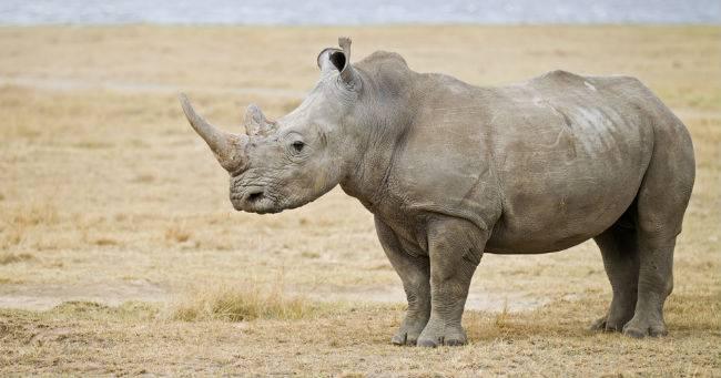 Fiocco azzurro  per il primo rinoceronte nato in provetta allo zoo