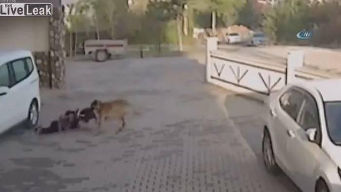 Attacco choc in Turchia: bimba azzannata in testa da un pitbull