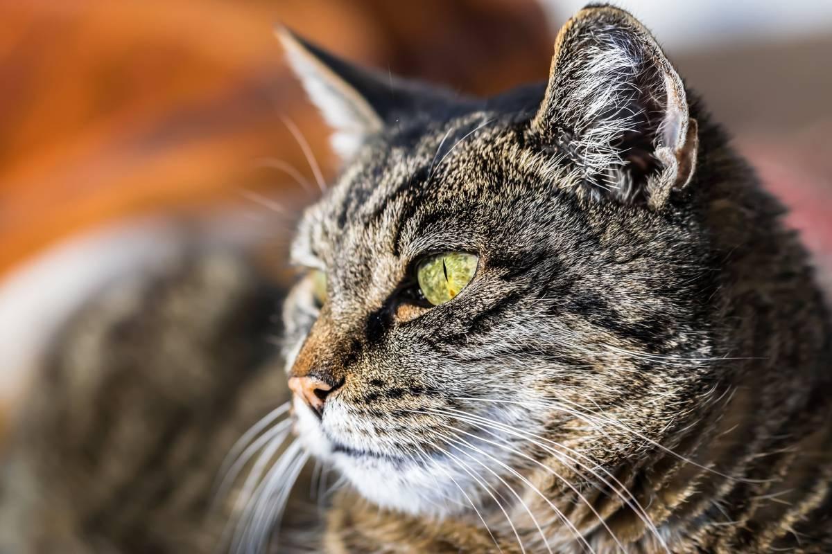 Australia, entro il 2020 uccisi 2 milioni di gatti con bocconi avvelenati