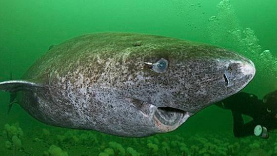 """Nuotare per 400 anni: lo squalo di Groenlandia è l'""""highlander"""" dei mari"""