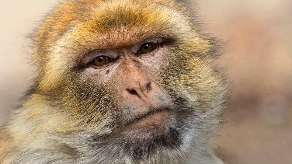 India, bambino di 4 mesi ucciso da una scimmia