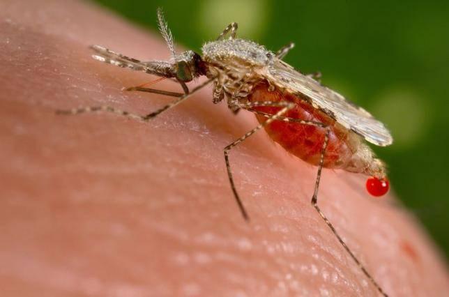 Italia invasa dalle zanzare giapponesi: perché sono pericolose