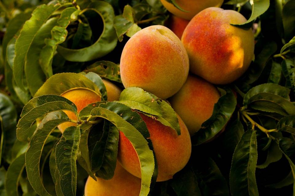 Pesche, il frutto energizzante e rinfrescante dell'estate