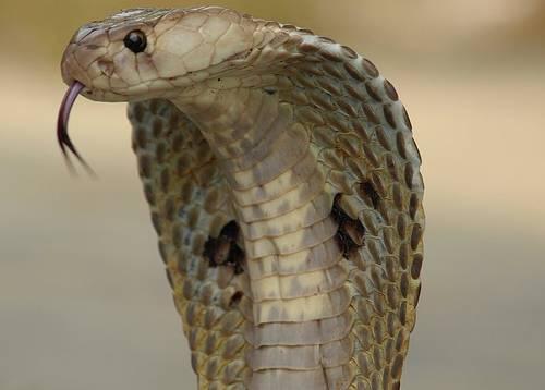 Un cobra nel letto: così l'indiano ha ammazzato la moglie