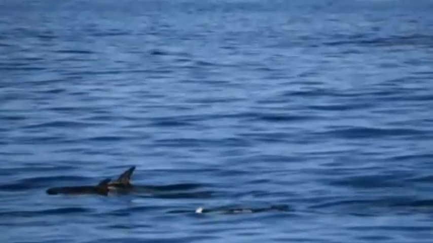 Delfino bianco avvistato in California