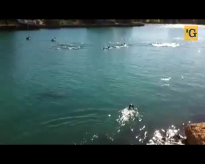 Cane nuota con un branco di delfini