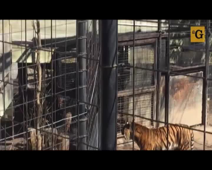 Entra nella gabbia delle tigri per recuperare un berretto