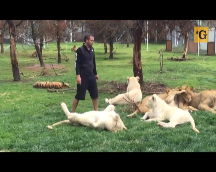 Tigre difende uomo dall'attacco di un giaguaro