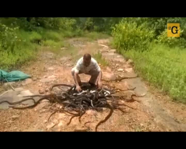 L'uomo dei serpenti libera 285 rettili senza farsi mordere