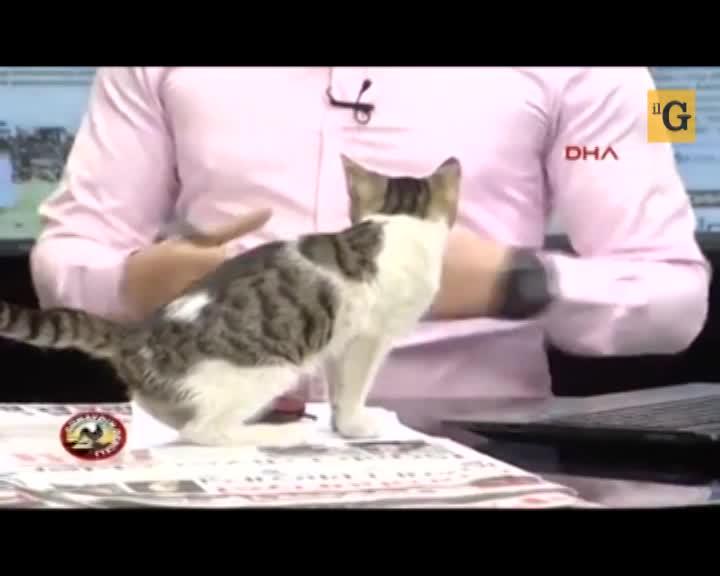 Gatto randagio entra in studio durante il telegiornale