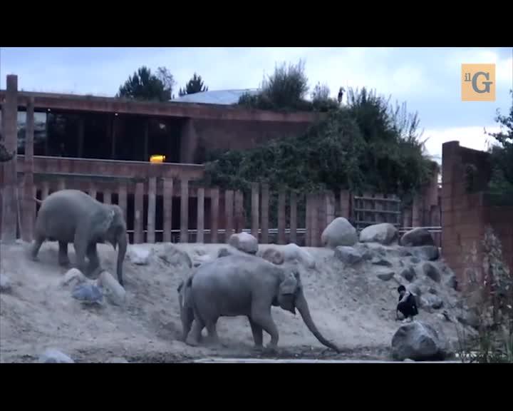 Uomo salta nel recinto degli elefanti dell zoo e...