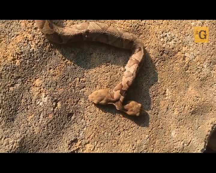 Trovato rarissimo serpente a due teste