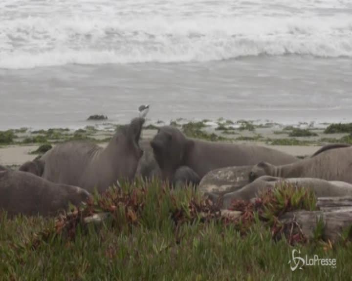 """Usa: elefanti marini invadono spiaggia """"grazie"""" allo shutdown"""