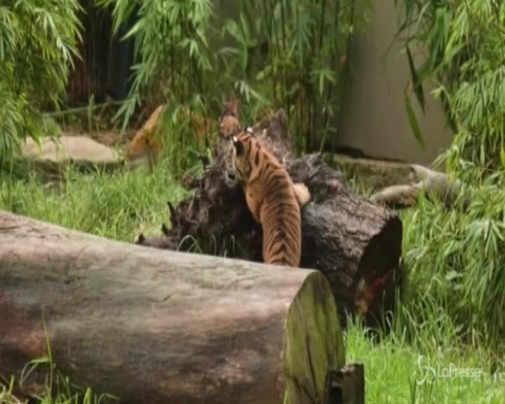 Australia, cuccioli di tigre di Sumatra allo zoo: si azzuffano e poi riposano all'ombra